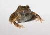 Свадебные песни: как самцы тунгарской лягушки устраивают свою личную жизнь, живя в городе и в деревне?